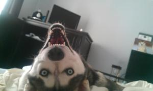 ANIMALS-husky-upside-down-smile